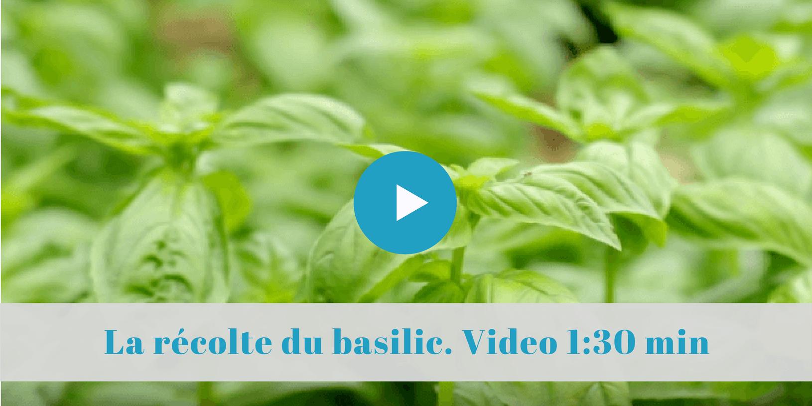 comment récolter le basilic